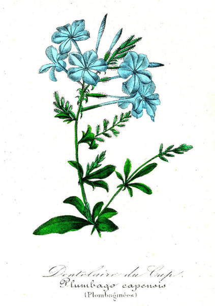 1855 Photograph - Plumbago Capensis by Collection Abecasis/science Photo Library
