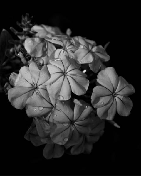 Plumbaginaceae Photograph - Plumbago Cluster by Erin Tucker