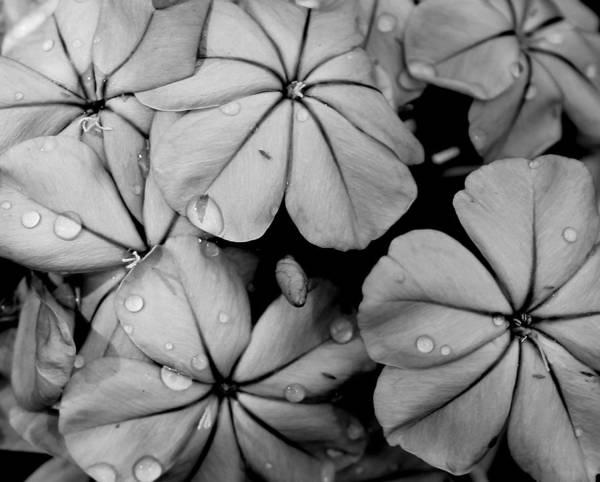 Plumbaginaceae Photograph - Plumbago by Erin Tucker