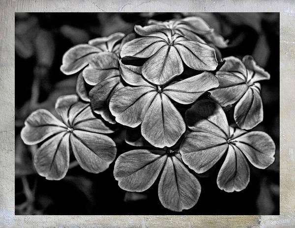 Plumbaginaceae Photograph - Plumbago In Gray by Judy Vincent