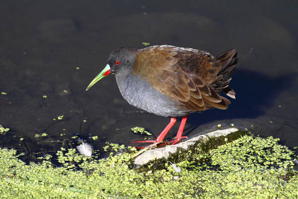 Photograph - Plumbeous Rail by James Brunker