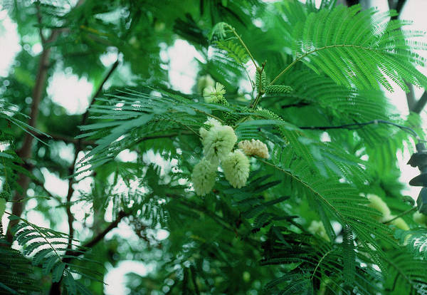 Plume Photograph - Plume Albizia (paraserianthes Lophantha) by A C Seinet/science Photo Library