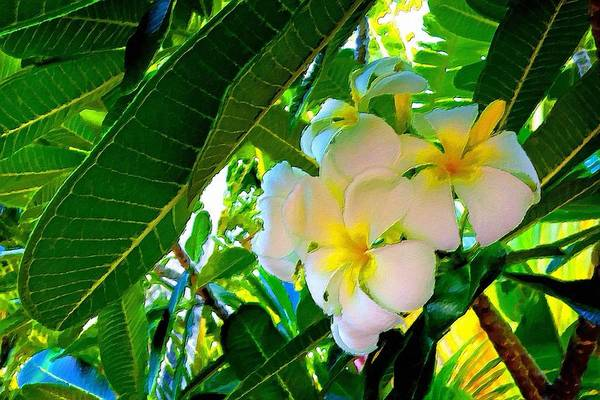Painting - Plumeria Beauty by Florian Rodarte