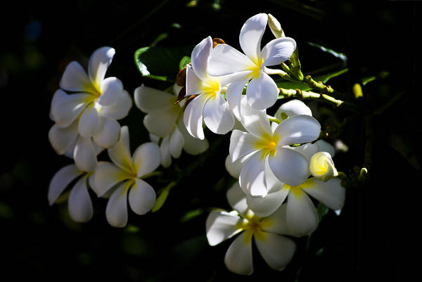 Photograph - Plumeria Glow by Christi Kraft