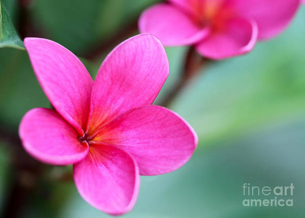 Photograph - Plumeria In Pink by Sabrina L Ryan