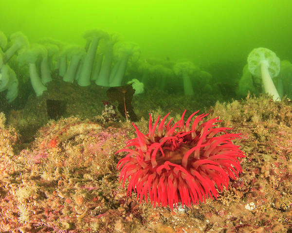 Wall Art - Photograph - Plumose And Fish Eating Sea Anemones by Stuart Westmorland