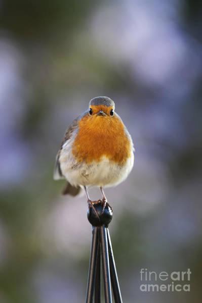 European Robin Photograph - Plump Robin by Tim Gainey