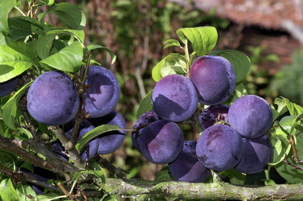 Wall Art - Photograph - Plums (prunus Domestica 'friar') by Brian Gadsby/science Photo Library
