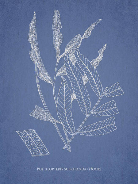 Ferns Digital Art - Poecilopteris Subrepanda by Aged Pixel