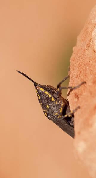 Psi Photograph - Poekilocerus Bufonius by Photostock-israel