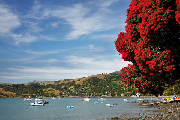 Wall Art - Photograph - Pohutukawa Tree And Akaroa Harbour by David Wall