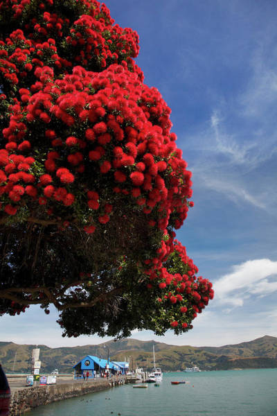 Wall Art - Photograph - Pohutukawa Tree And Main Wharf, Akaroa by David Wall