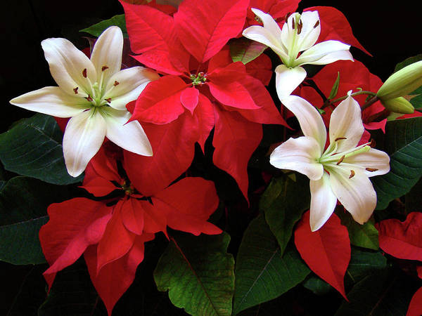 Photograph - Poinsettia And Lilies by Sandy Keeton