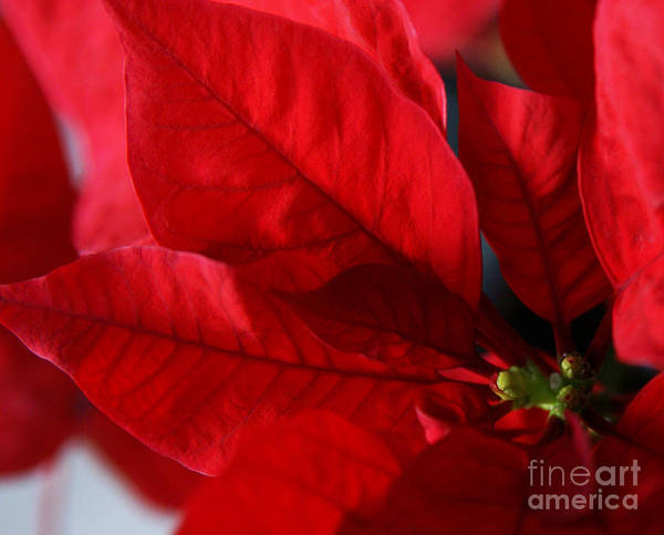 Photograph - Poinsettia by Linda Shafer
