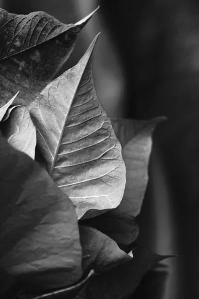 Photograph - Poinsettia Points by Christi Kraft