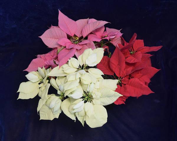 Photograph - Poinsettia Tricolor by R  Allen Swezey