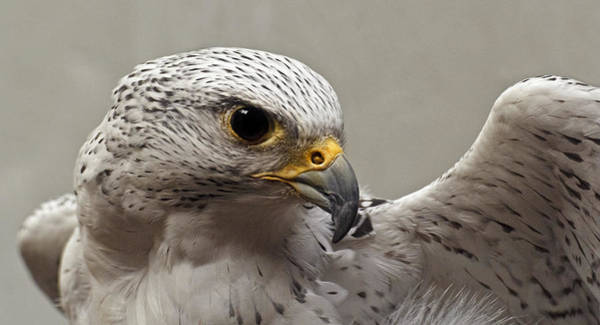 Photograph - Point Defiance Gryfalcon by Wes and Dotty Weber