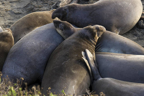 Photograph - Point Piedras Blancas Elephant Seals 2 by Jim Moss