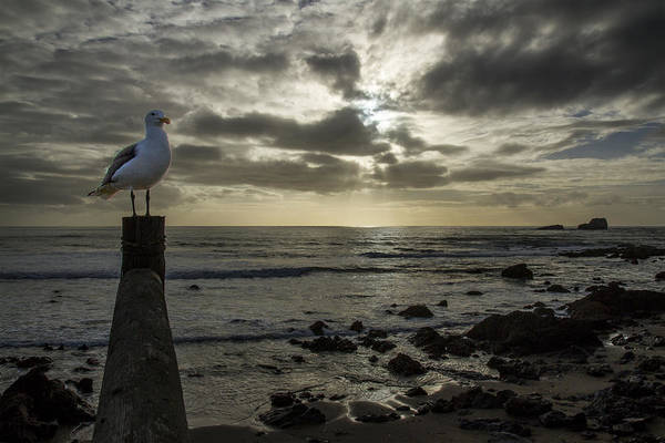 Photograph - Point Piedras Blancas Seagull by Jim Moss