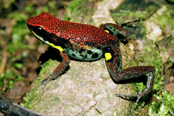 Poison Dart Frog Photograph - Poison Dart Frog by Dr Morley Read/science Photo Library