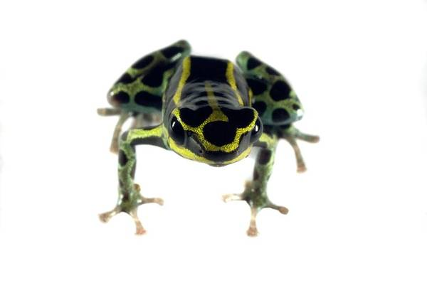 Poison Dart Frog Photograph - Poison Dart Frog by Sinclair Stammers/science Photo Library