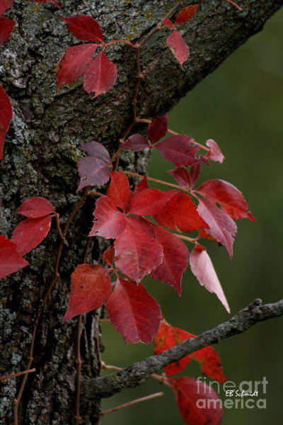 Photograph - Poison Ivy In The Fall by E B Schmidt