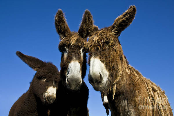 Equus Africanus Photograph - Poitou Donkey Family by Jean-Louis Klein and Marie-Luce Hubert