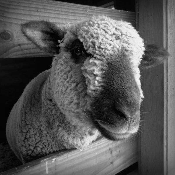 Petting Zoo Photograph - Poking Through - Black And White by Joseph Skompski