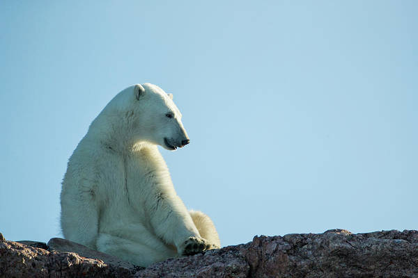 Wall Art - Photograph - Polar Bear Along Repulse Bay, Nunavut by WorldFoto