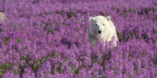 Wall Art - Photograph - Polar Bear Amid Fireweed Hudson Bay by Matthias Breiter