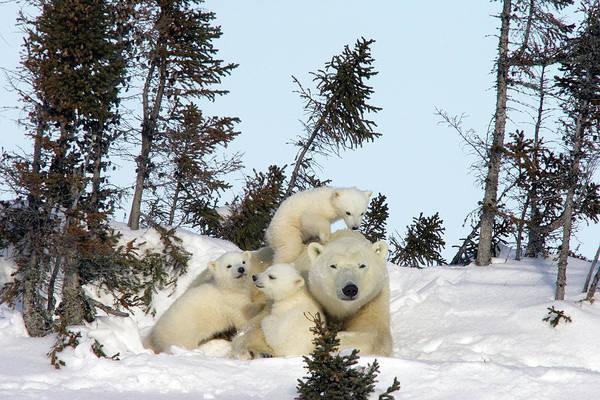 Photograph - Polar Bear And Trio Of Cubs by Matthias Breiter