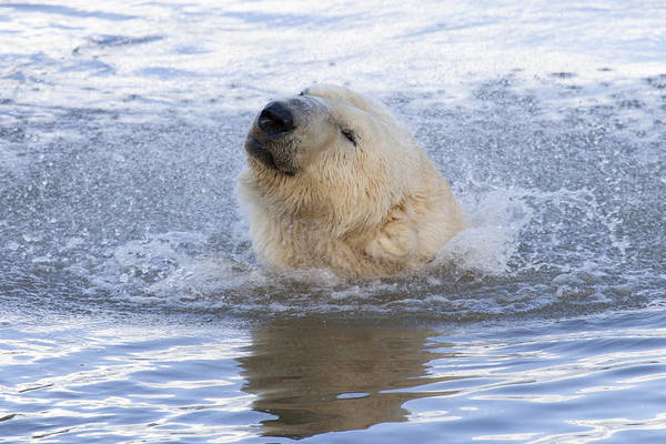 Polar Bear Art Print by Andrew Dernie