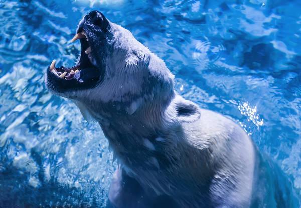 Digital Art - Polar Bear by Chris Flees