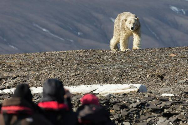 Ursidae Wall Art - Photograph - Polar Bear Confronting Tourists by Dr Juerg Alean/science Photo Library