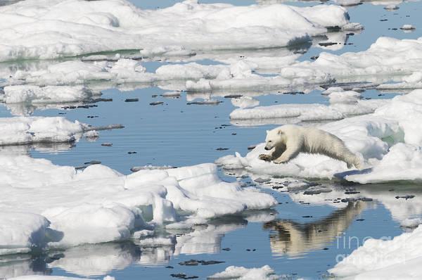 Wall Art - Photograph - Polar Bear Cub Jumping by John Shaw