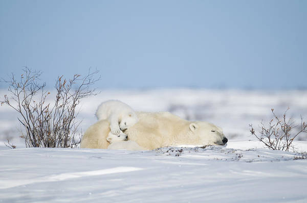 Wall Art - Photograph - Polar Bear Cubs Play On Mothers Back by Richard Berry
