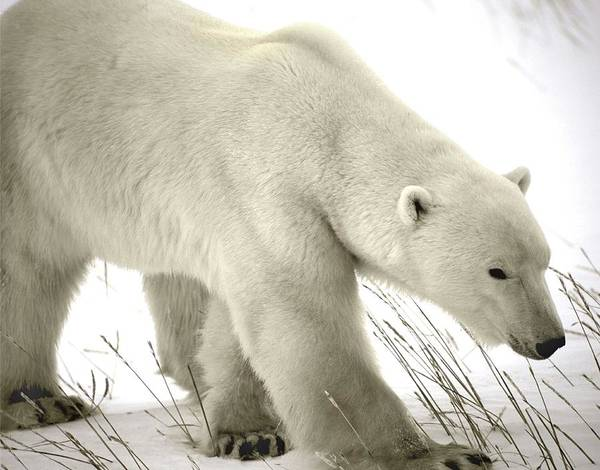 Canadian Fauna Photograph - Polar Bear by David Woodfall Images/science Photo Library