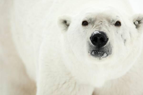Canadian Fauna Photograph - Polar Bear by Dr P. Marazzi/science Photo Library