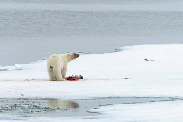 Polar Bear Photograph - Polar Bear Feeding On A Kill by Dr P. Marazzi