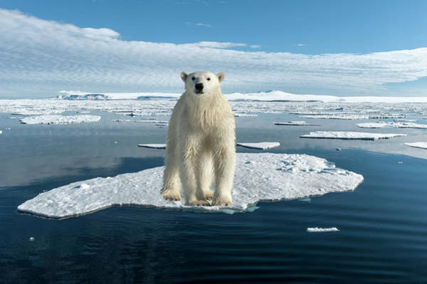 Ice Floes Wall Art - Photograph - Polar Bear by Gabrielle Therin-weise