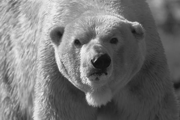 Photograph - Polar Bear Hunt Black And White by Dan Sproul
