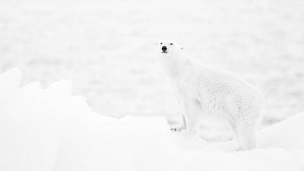 Polar Photograph - Polar Bear In B&w by Joan Gil Raga