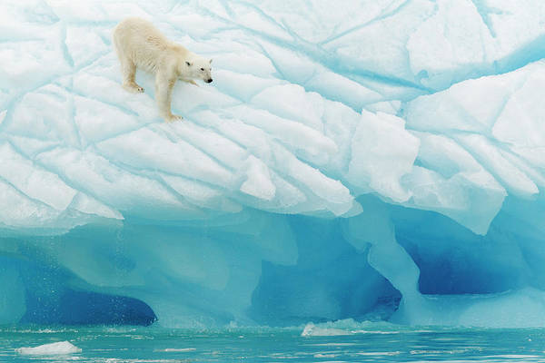 Polar Photograph - Polar Bear by Joan Gil Raga