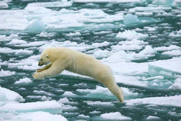 Chordate Photograph - Polar Bear Jumping Across Ice Floes by Peter J. Raymond