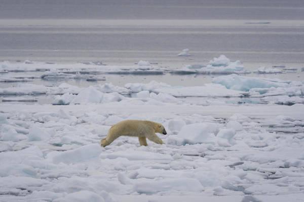 Wall Art - Photograph - Polar Bear Jumping Between Hummocks by John Shaw
