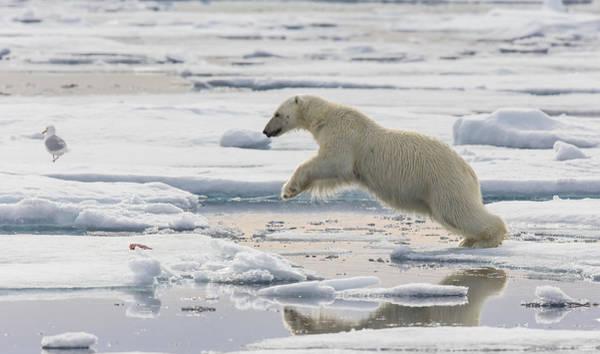 Photograph - Polar Bear Jumping  by Peer von Wahl