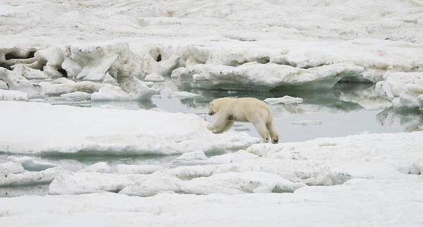 Wall Art - Photograph - Polar Bear Jumping by John Shaw