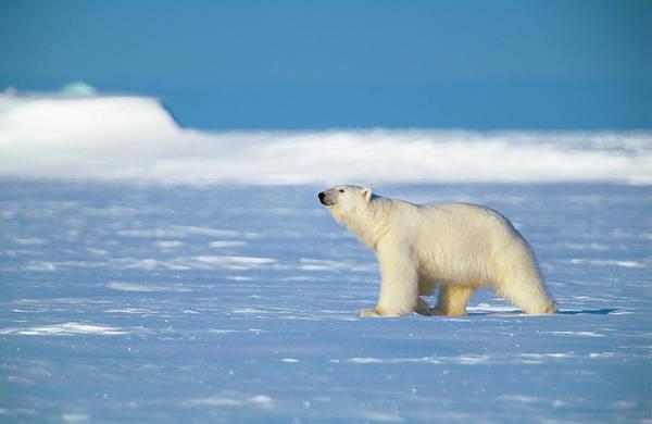 Canadian Fauna Photograph - Polar Bear by Louise Murray/science Photo Library