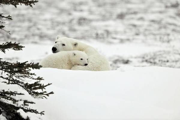 Canadian Fauna Photograph - Polar Bear Mother And Cub by Dr P. Marazzi/science Photo Library