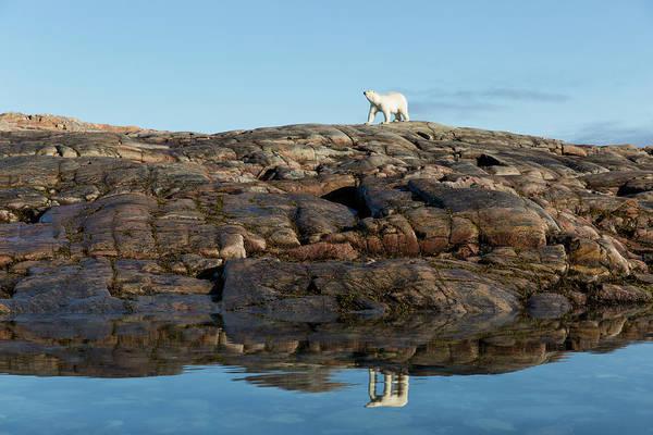 Wall Art - Photograph - Polar Bear On Harbour Islands, Hudson by Paul Souders